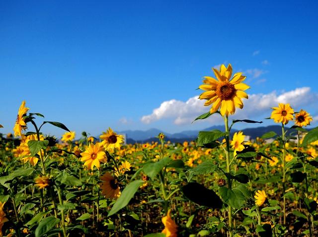 今年初最夯IG打卡景點🌻 隱藏於台北的向日葵花海!