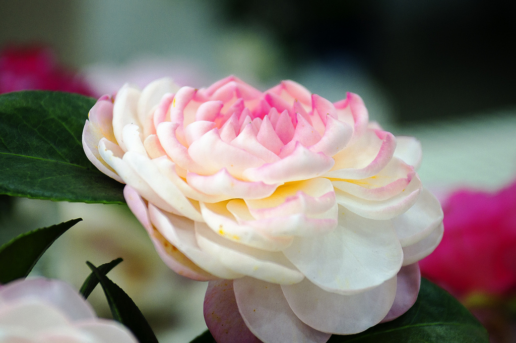 櫻花、杜鵑、茶花、野牡丹 百花爭奇鬥豔🌸陽明山花季賞花路線全攻略