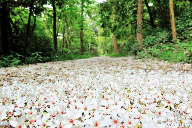 初夏裡的白雪紛飛場景 ???? 造訪苗栗桐花季