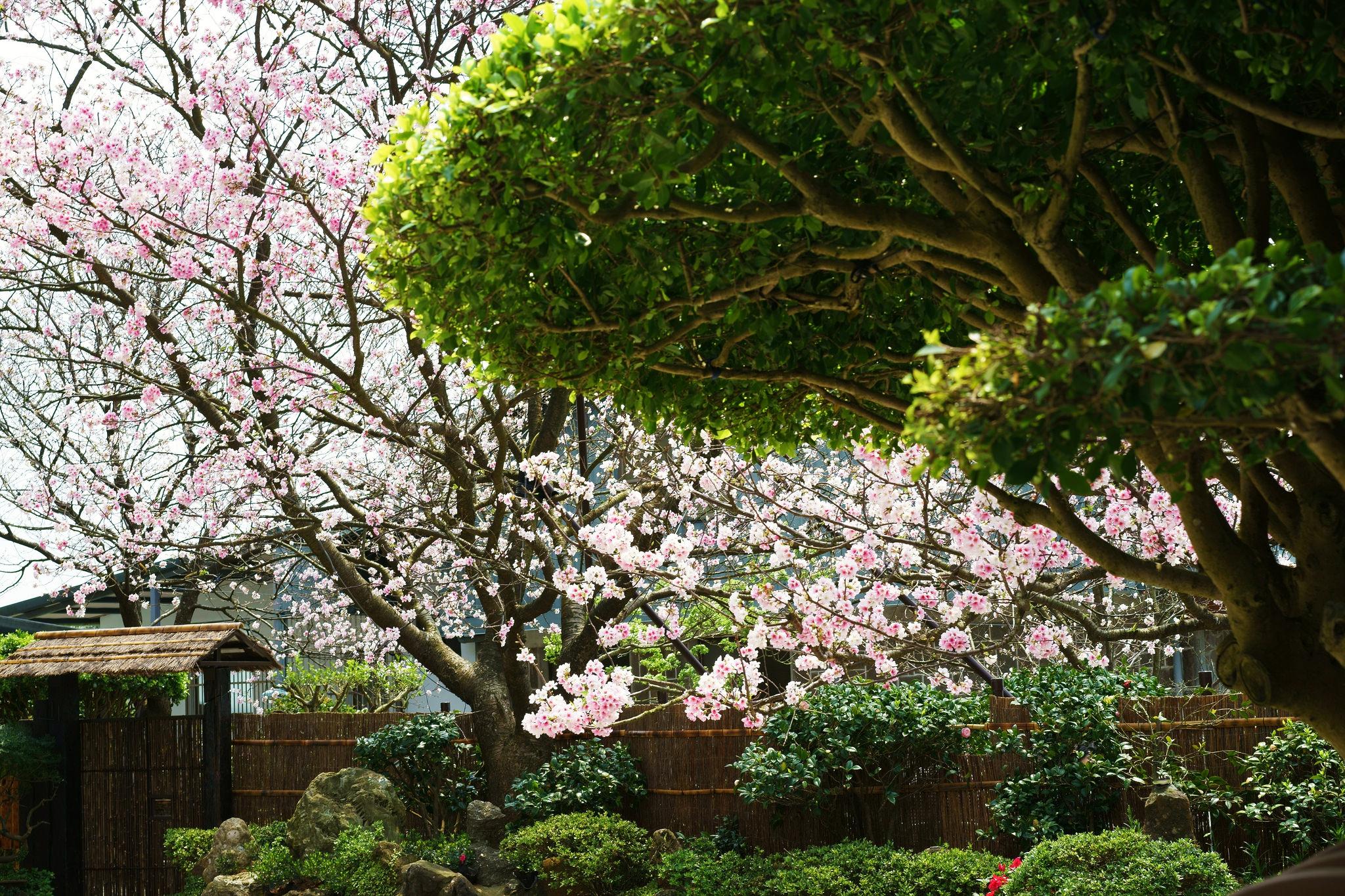 【台北微旅行】在這裡人人都是下凡仙女????陽明山賞櫻秘境 — 東方寺