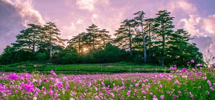 【季節限定】波斯菊花海爆炸盛開!台中「福壽山農場」被繽紛花毯全面攻佔!