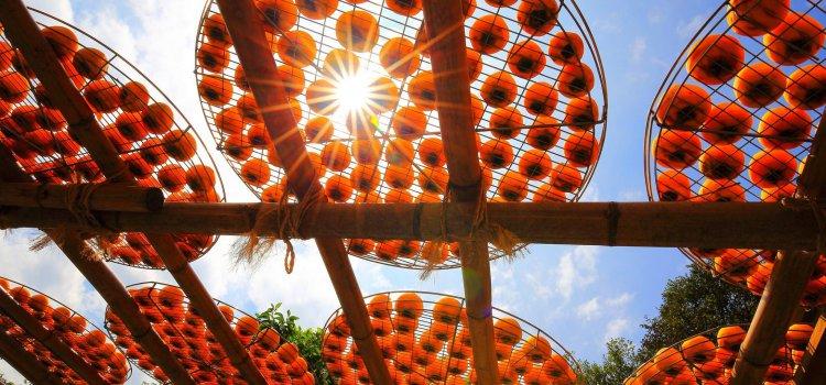 【秋季盛典】逃離都市  遨遊金黃燦爛的柿子海!新竹「味衛佳柿餅」一年一度的「曬柿季」錯過可惜!