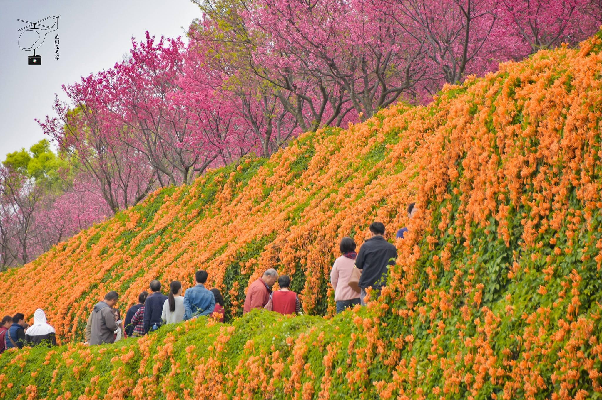 【初春微旅行】金黃色的鮮花瀑布「苗栗銅鑼炮仗花」爭奇鬥豔!
