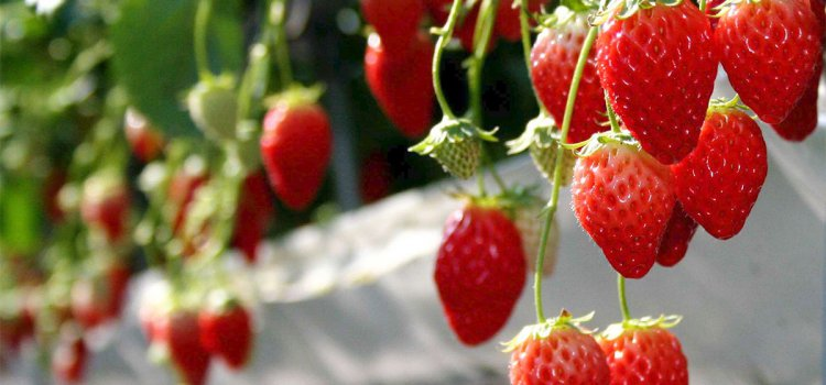 【草莓季】去哪玩?2018年「台北草莓園」大搜查,半小時就能到達的「鄉村生活」!