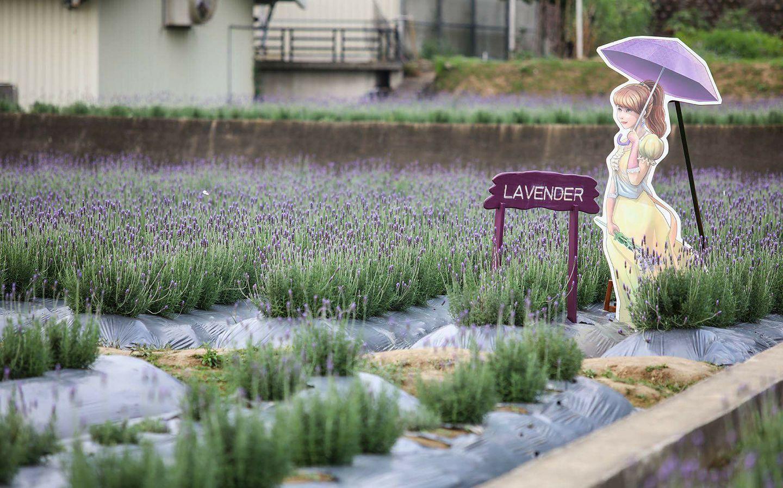 走訪全台最大香草田|2萬株薰衣草鋪成的紫色花海,5月前免費參觀!