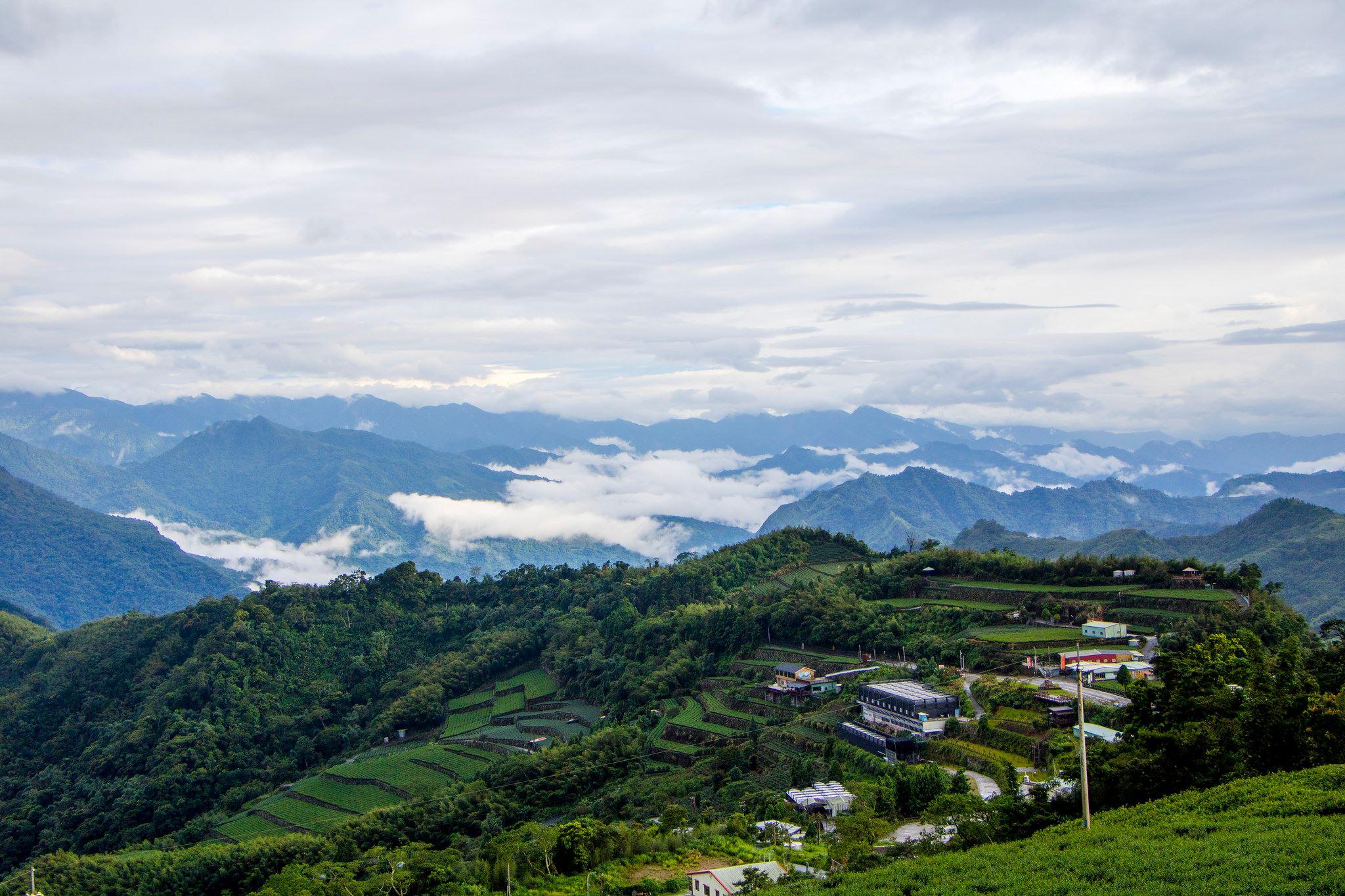 阿里山茶真的種在阿里山嗎? 嘉義隙頂 ❌ 石棹 美麗雲海裡的茶葉故鄉