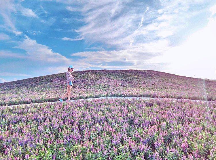 【花海秘境】降落凡間的仙境!超夢幻「天使花」漫山遍野驚艷關渡!