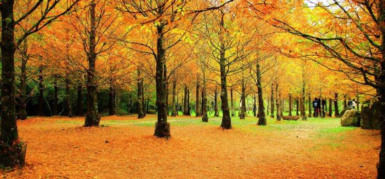 【季節限定】風光旖旎秋意濃!南投「杉林溪水杉」全數轉金。與楓紅接力渲染出漸層美景!
